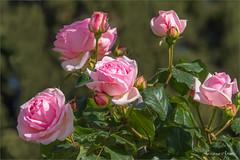 Roma, Roseto Comunale (adrianaaprati) Tags: rome municipalrosegarden roses colors beauty april spring flowering roma rosetocomunale romarosetocomunale