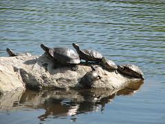 IMG_1827 (Osirisba2112) Tags: turtle party sun worship hangout crowd