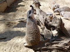 erdmännchen (4) (anettweiss) Tags: essehof tierpark