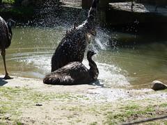 emu (2) (anettweiss) Tags: essehof tierpark