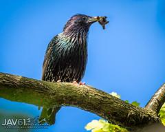 Feeding the family ... _8691 (George Vittman) Tags: animals birds landscape nature photography limburg belgium nikonpassion wildlifephotography jav61photography jav61