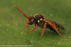 Nomada fulvicornis (henk.wallays) Tags: hymenoptera inat arthropoda nomadafulvicornis aaaa nomada bees nature insect henkwallays roodsprietwespbij wespenbiene wespenbienen closeup macro natuur wespbij wespbijen wildlife year2019 size medium date