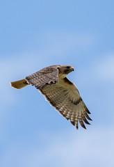 Red-Tailed Hawk (Martin (fuxl) Fuchs) Tags: birds hawk redtailedhawk