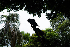 Silhouette of Parrot in Cartagena (Keane Li) Tags: silhouette parrot wildlife bird cartagena colombia peaceful isolated alone moody elegant nature southamerica
