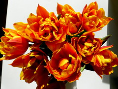 Power. (remember moments) Tags: dietmarvollmer tulips tulpen flower color multiple accumulation yellow red