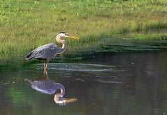 Blue Heron Fishing (ChrisGJeans) Tags: 70200 water bird blue eating fishing fowl heron pond teleconverter wildlife fish beak