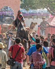 Pushkar Camel Fair 2018 (Julie H. Ferguson (Photos by Pharos)) Tags: travel india rajasthan pushkar pushkarcamelfair horse dancing crowd