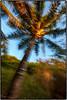 Palm Tree with intentional camera movement. (drpeterrath) Tags: palm tree color goldenhour sun sky nature green blue kauai hawaii canon 5dsr eos kealia
