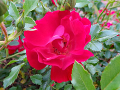 Red Rose. (dccradio) Tags: lumberton nc northcarolina robesoncounty outside outdoor outdoors plant greenery leaf leaves foliage pink rose roses rosebush flower flowers floral canon powershot elph 520hs nature gardening ncgardening april spring springtime thursday evening thursdayevening goodevening red tearose minirose miniaturerose mini miniature bloom blooming blossom blossoms