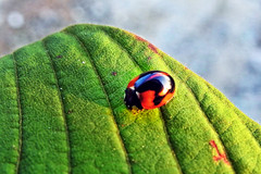 Oh Lady !! (Lopamudra !) Tags: lopamudra lopamudrabarman lopa ladybird beatle nature kalimpong darjeeling himalaya himalayas beauty beautiful cute pretty westbengal india insect wilderness colour colourful