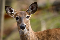 Be A Deer and Pose (Eric Tischler) Tags: deer ohio spring nature wildlife woods head face