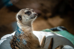 Mischievous Meerkat (John Brighenti) Tags: zoo national smithsonian zoological animals exotic display photography sony alpha a7rii ilce7rm2 nex ilce emount femount sel70300g 70300mm zoom telephoto lens gseries bealpha sonyshooter meerkat smile eyes cute adorable friendly washington dc districtofcolumbia woodley park adams morgan spring april