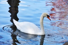 Beautiful creatures...😍 • • • Official Website: imperfectlystill.com 💻📱 (Imperfectly Still) Tags: swan lakeeola park nature animalphotography birdphotography photography photooftheday gooutside orlando florida goodnight staypositive