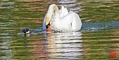 Help, au secours ! ...le cygne mâle veut me noyer ! (mamnic47 - Over 10 millions views.Thks!) Tags: 20042019 sigma150600mm maresaintjames 6c8a3919 cygne oiebernacheducanada noyade