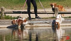 Excellent chien de compagnie pour toute la famille (mamnic47 - Over 10 millions views.Thks!) Tags: 20042019 sigma150600mm maresaintjames 6c8a3881 chien cavalierkingcharles