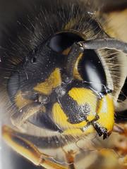 F4257655-F4257815 PMax UDR 1 E-M5ii 60mm iso200 f8 1_4s 0 (Mel Stephens) Tags: 20190425 201904 2019 q2 3x4 tall olympus mzuiko mft microfourthirds m43 60mm omd em5ii ii mirrorless macro closeup stacked focus zerene animal animals nature wildlife fauna insect wasp
