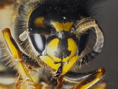 F4258379-F4258518 PMax UDR 1 E-M5ii 60mm iso200 f8 0.3s 0 (Mel Stephens) Tags: 20190425 201904 2019 q2 4x3 wide olympus mzuiko mft microfourthirds m43 60mm omd em5ii ii mirrorless macro closeup stacked focus zerene animal animals nature wildlife fauna insect wasp