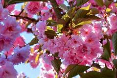 Japanische Zierkirsche   Japanese Cherry (André-DD) Tags: kirsche blüten blossoms blüte blossom zierkirsche cherry japanischezierkirsche japanesecherry baum tree frühling spring sonne sun reflektion glare bokeh macro flower