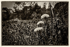 Trio (enneafive) Tags: dandelions monochrome gloomy dark meadow pastoral bucolic nature flowers grass trees bokeh fujifilm xt2 affinityphoto vintage silvereffexpro