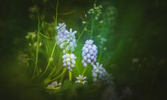 Grape Hyacinth (Dhina A) Tags: sony a7rii ilce7rm2 a7r2 a7r tamron sp 350mm f56 tamronsp350mmf56 prime ad2 adaptall2 mirrorlens 06b catadioptric reflex cf tele macro manualfocus grape hyacinth muscari armeniacum lady blue spring flower bokeh