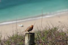 Beach bird (phileveratt) Tags: robin bird fence beach lanticbay greatlanticbeach fencefriday fencedfriday happyfencefriday hff