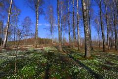 Spring forest (annemwo) Tags: trees flowers sky landscape forest woods nature spring springtime april tønsberg norway