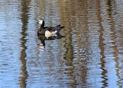 Barnacle Goose (Wild Chroma) Tags: branta leucopsis brantaleucopsis goose barnacle birds nonpasserines sweden råstasjön reflections