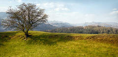 Tree on a hill. (Tall Guy) Tags: tallguy uk unescoworldheritagesite ldnp lakedistrict cumbria tarnhows langdalepikes