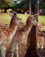 Deer friends (Krischtopp) Tags: nature forest woods animal animals deer