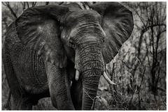 Elefante, Parque Kruger (bit ramone) Tags: sudáfrica elefante elephant travel viajes kruger vidasalvaje wildlife bitramone blancoynegro blackandwhite áfrica pentax pentaxk3ii elitegalleryaoi bestcapturesaoi aoi