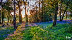 Sunrise in a bluebell wood, Hambledon, Hampshire, UKf (Julian Gazzard) Tags: natural england carpet purple rug shaft noperson bell woodland morning wild flora growth scenic outdoors green shine uk wood path spring nature sunrise sun plants hambledon flower early wildflower tree color season bluebells light rays bluebell blue colorful landscape beautiful growing forest sunlight hampshire beam park bloom background springtime environment