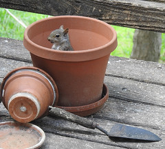 Not what I planted - baby Gray Squirrel (annette.allor) Tags: gray squirrel pots wildlife backyard nature