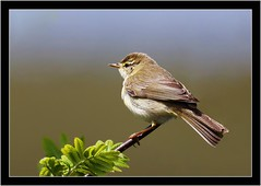 WILLOW WARBLER (PHOTOGRAPHY STARTS WITH P.H.) Tags: willow warbler haytor vale devon nikon d500 200500mm afs vr