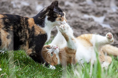 Fight (Brad_McKay) Tags: ifttt 500px cat cats kittens kitty fight play outside fun cute pretty calico ginger orange white black green grass claws paws beautiful funny