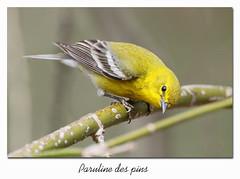 Paruline des pins / Pine Warbler 153A1783 (salmo52) Tags: oiseaux birds salmo52 alaincharette parulinedespins pinewarbler victoriaville setophagapinus passériformes parulidés parulidae réservoirbeaudet