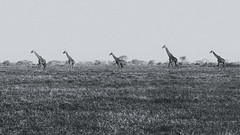 Savannah Trekking (AnyMotion) Tags: giraffe giraffacamelopardalis trek plains savannah savanne 2018 anymotion ndutuplains ngorongoroconservationarea tanzania tansania africa afrika travel reisen animal animals tiere nature natur wildlife 7d2 canoneos7dmarkii bw blackandwhite sw ngc npc