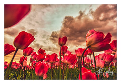 We had a rough day (Bob Geilings) Tags: tulips rough mood clouds dramatic flowers spring colors red green flowerfield floral