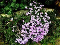 #Steingarten #Frühlingserwachen (RenateEurope) Tags: 2019 renateeurope iphoneography rockgarden plants violett flowers flora steingarten frühlingserwachen