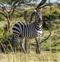 PLAIN'S ZEBRA: AFRICAN BAR CODES (John C. Bruckman @ Innereye Photography) Tags: plainszebra kenya maasaimara stripes heatcontrol camouflage pattern barcodes migration serengeti tanzania