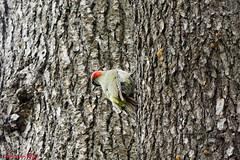 Pic vert European Green Woodpecker Picus viridis (Ezzo33) Tags: france gironde nouvelleaquitaine bordeaux ezzo33 nammour ezzat sony rx10m3 parc jardin oiseau oiseaux bird birds picvert europeangreenwoodpecker picusviridis
