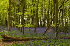 Bluebell Woods in bloom (ejwwest) Tags: hintonampner hampshire woods parnholtwoods winchester farleymount bluebells hyacinthoidesnonscripta alresford england unitedkingdom