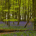 Bluebell Woods in bloom