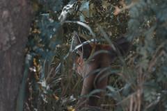 Impala in hiding (Harish Mahesh) Tags: wildlife animalphotography wildlifephotography africa tanzania mikumi nationalpark canon