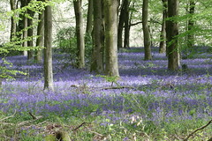 Bluebells of Micheldever (roger_forster) Tags: bluebells hyacinthoidesnonscripta micheldever winchester hampshire hiwwt woodland