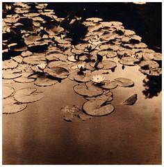 Two trays lith su Fomatone (Claudio Taras) Tags: lithprint landscape luci rollfilm rodinal rolleiflex35f print fomatone mg se5 shadow selenium mediumformat 6x6 bw darkroom moersch claudio taras analog film toned tlr medium
