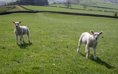 Pincer movement (April 2019 #2) (Lazlo Woodbine) Tags: sheep lambs hartington derbyshire landscape nature animals sony 1650mm a6000 april 2019 countryside farm farmanimal agriculture peakdistrict peakdistrictnationalpark uk britain britishcountryside british britishlamb cute