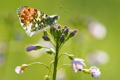 Orange tip male (nikjanssen) Tags: oranjetipje orangetip butterfly vlinder bokeh nature macro