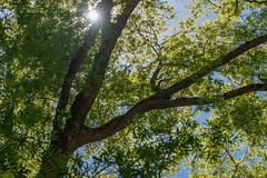 Tree (J McCallister) Tags: sun sunflare tree sunburst rossville tennessee unitedstatesofamerica