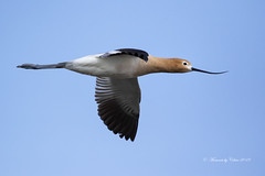 Avocet in Flight (Canon Queen Rocks (3,000,000 + views)) Tags: wildlife wings wild nature naturephotography birds wader american avocet sky bluesky feathers canada alberta