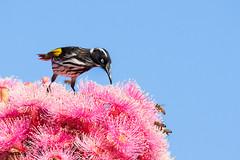 New Holland on flowering gum (Jennie Stock) Tags: phylidonyrisnovaehollandiae feeding bridgetown newhollandhoneyeater